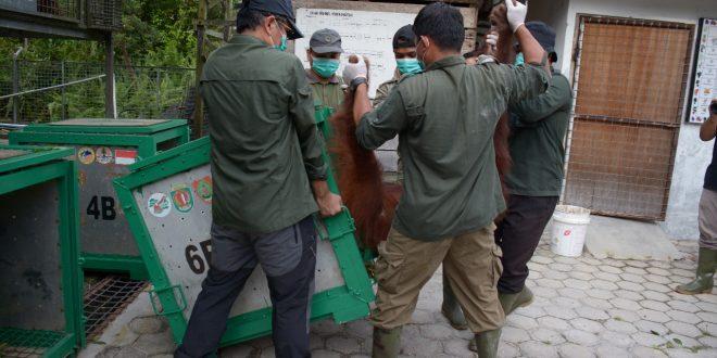 Satu Individu Orangutan dari Thailand Dilepasliarkan ke TN-BBBR Katingan