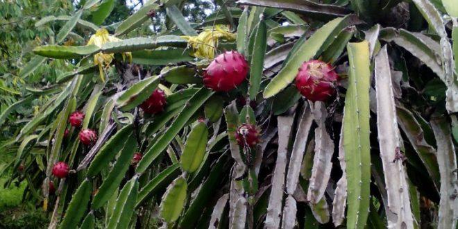 Warga Kalampangan Ciptakan Agrowisata dengan Budidaya Buah Naga