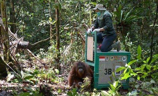 6 Orangutan Dilepasliarkan ke TNBBBR di Hari Konservasi Satwa Liar Sedunia