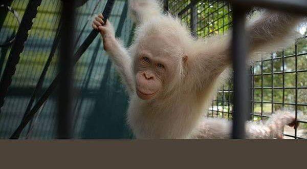 Orangutan Albino Dilepasliarkan ke TNBBBR Katingan