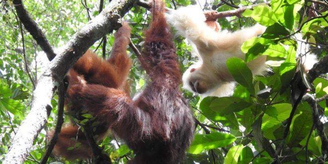 Orangutan Albino Sudah Bisa Beradaptasi