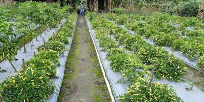 30 Hektare Lahan Disiapkan Untuk Pengembangan Cabai