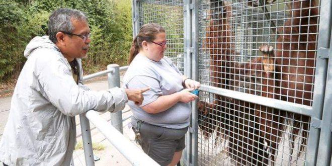 Yayasan BOSF Masih Rawat 500 Individu Orangutan