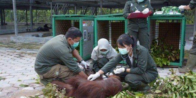 6 Orangutan Dilepasliarkan ke TNBBBR Katingan