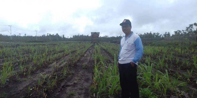 Siapkan 10 Hektare Pengembangan Hijauan Pakan Ternak