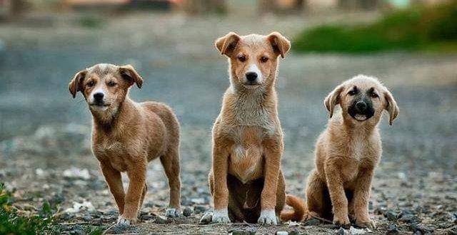 Musim Kawin, Anjing Rawan Menggigit
