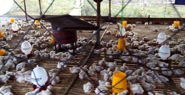 Palangka Raya akan Dapat Bantuan 5.000 Ekor Ayam Ras