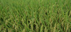 70 Hektare untuk Tanam Padi di Palangka Raya