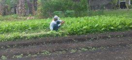 Petani Kalampangan Panen Sayur Sawi