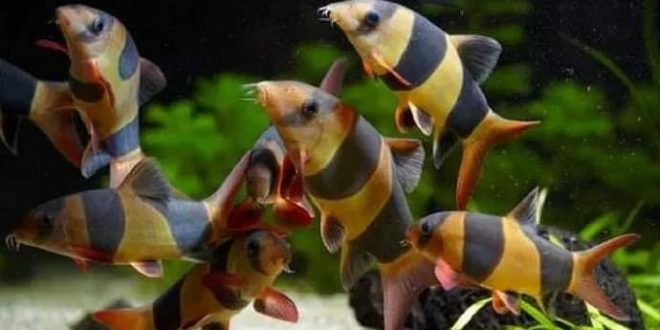 Ekspor Ikan Hias Lewat Palangka Raya Capai 500.000 Ekor