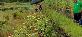 Petani Kalampangan Berhasil Kembangkan Bercocok Tanam Ramah Lingkungan